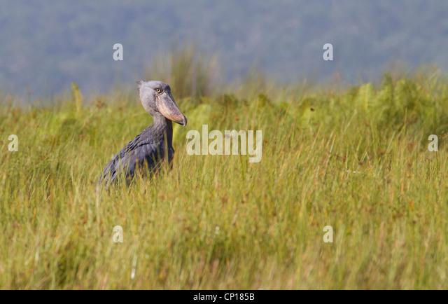 Shoebill Stork (Balanaeceps rex) at Mabamba Swamp, Uganda - Stock Image