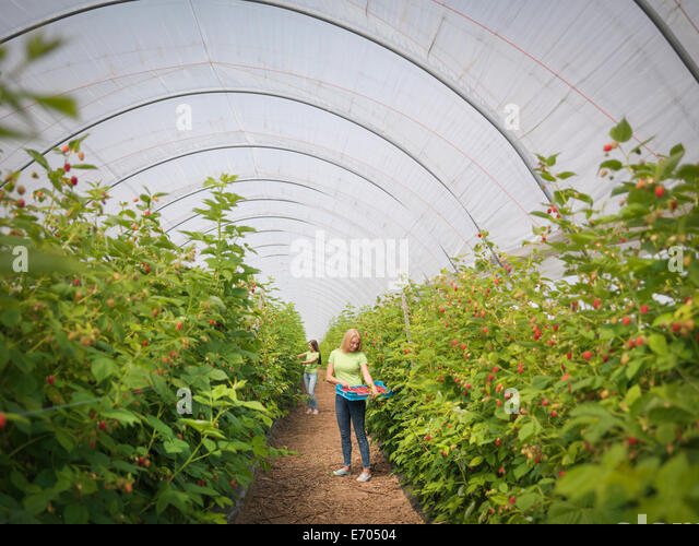 Workers picking raspberries in fruit farm - Stock Image