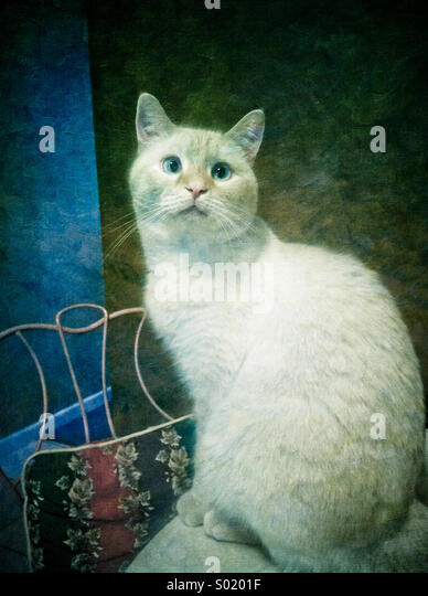 An artistic rendering of a white flame point Siamese cat - Stock-Bilder