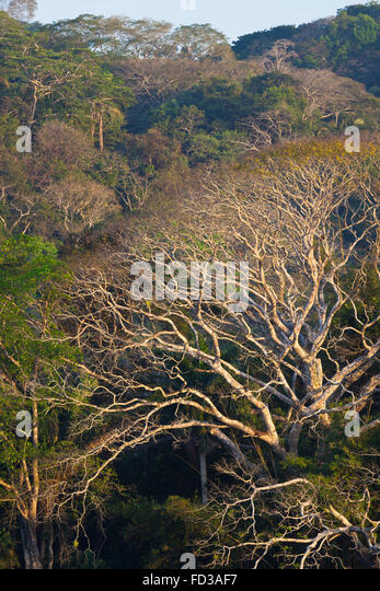 Rain forest in the dry season, in Soberania national park, Republic of Panama. - Stock-Bilder