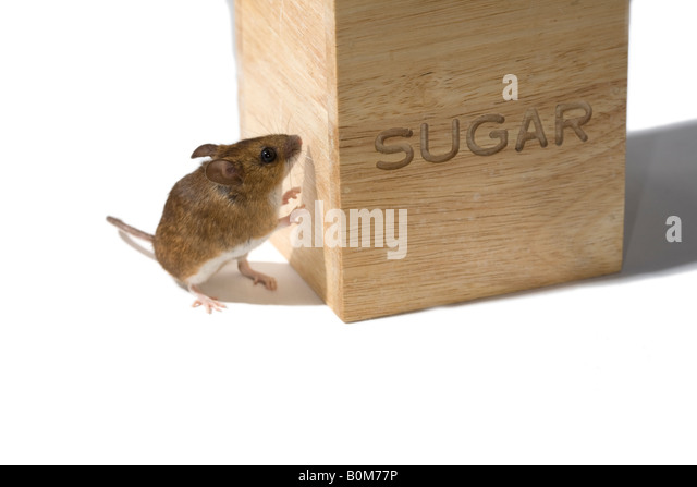 Mouse investigating a sugar container - Stock Image