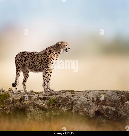 Cheetah (Acinonyx jubatus) Stands  On Top of a Rock - Stock-Bilder