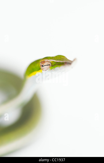 Ahaetulla nasuta . Juvenile Green vine snake on white background - Stock-Bilder