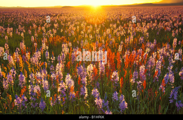 IDAHO, Camas Prairie Centennial Marsh. Sunset filtering through purple lilies and red wildflowers. - Stock Image