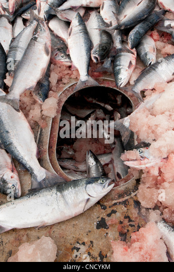 Sockeye salmon pile up on the deck of a tender while waiting to be pushed down into the cold storage hold, Bristol - Stock Image