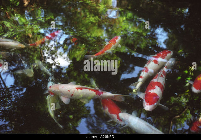 Japanese carp stock photos japanese carp stock images for Koi 9 en israel
