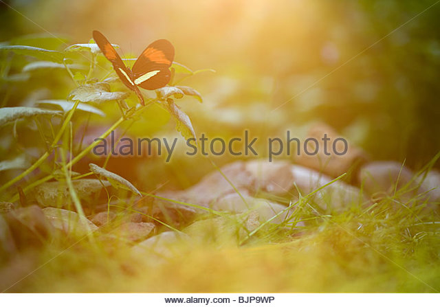 Butterfly on plant - Stock Image