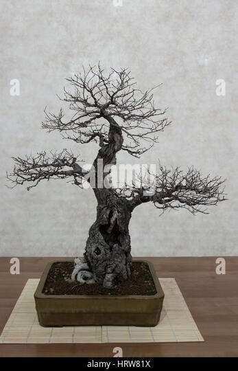 Bonsai tree, rural elm - Stock Image