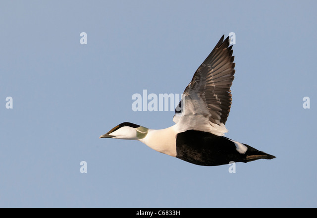 Common Eider (Somateria mollissima). Drake in breeding plumage in flight. - Stock Image