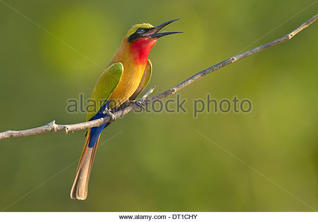 Mole National Park Ghana Red-throated bee-eater branch Murops belocki - Stock Image