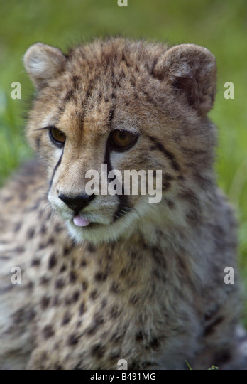 young cheetah - Acinonyx jubatus - Stock-Bilder