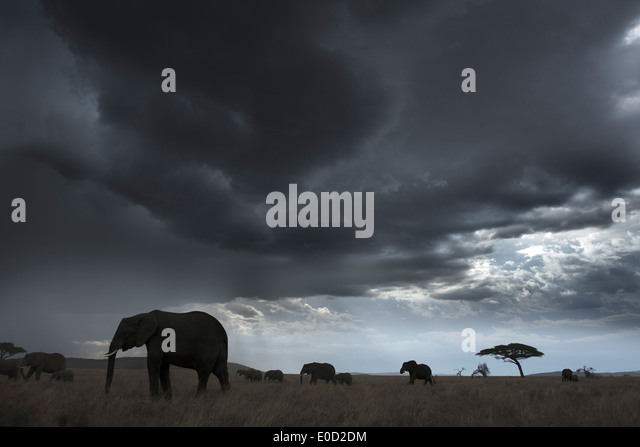Elephants and storm clouds, Tanzania (Loxodonta africana) - Stock-Bilder