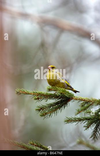 Finland, Ruhtinansalmi, near Suomussalmi, Wildlife Centre Martinselkonen Erakeskus. Greenfinch. Chloris chloris. - Stock-Bilder
