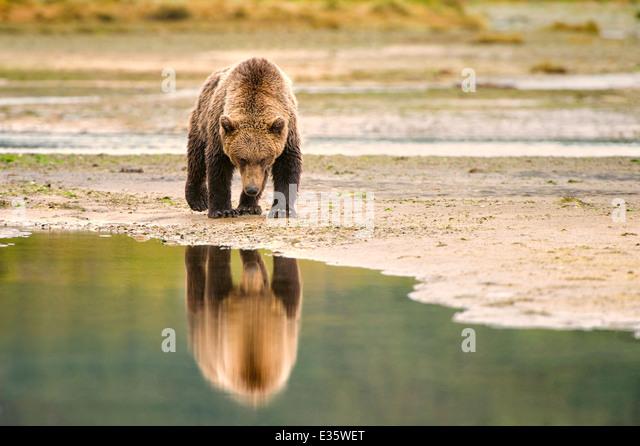 A coastal brown bear / grizzly bear walks a meandering shoreline in search of food scraps in Katmai National Park, - Stock-Bilder