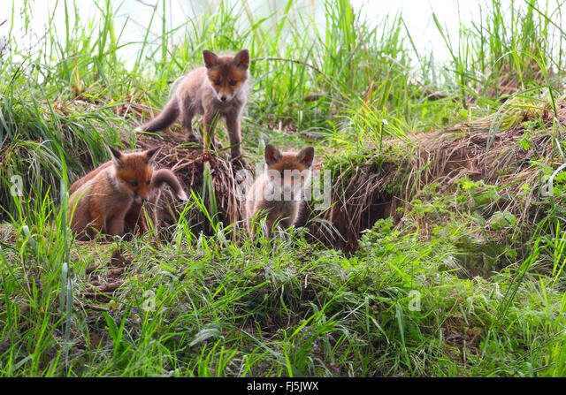 red fox (Vulpes vulpes), whelps in front of the den, Germany - Stock Image