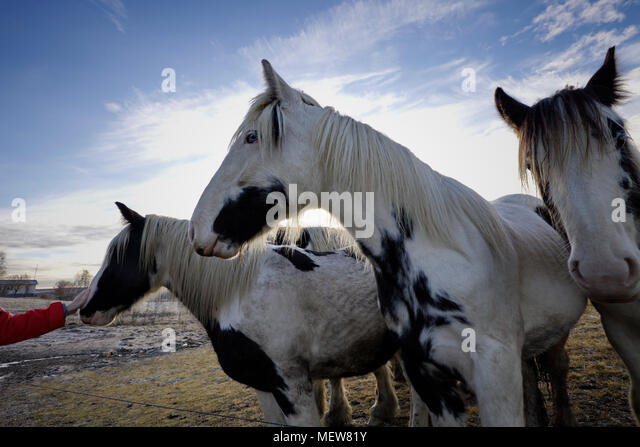 Wide angle close up photograph of Tinker horses on a frosty pasture under a cloudy sky in Anundsjoe, Sweden. - Stock Image