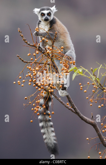 Ring-tailed Lemur feeding on fruit in the Anja Nature Reserve, central Madagascar - Stock-Bilder