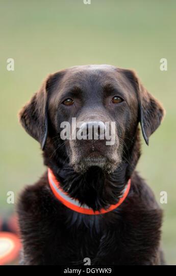 Brown Labrador Retriever, portrait - Stock Image