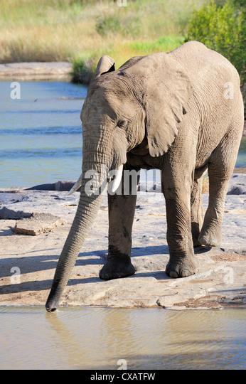 Elephant drinking, Pilanesberg National Park, Sun City, South Africa, Africa - Stock Image