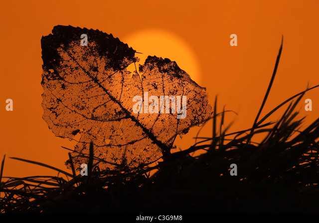 Black Poplar Populus nigra skeleton leaf at sunset - Stock Image