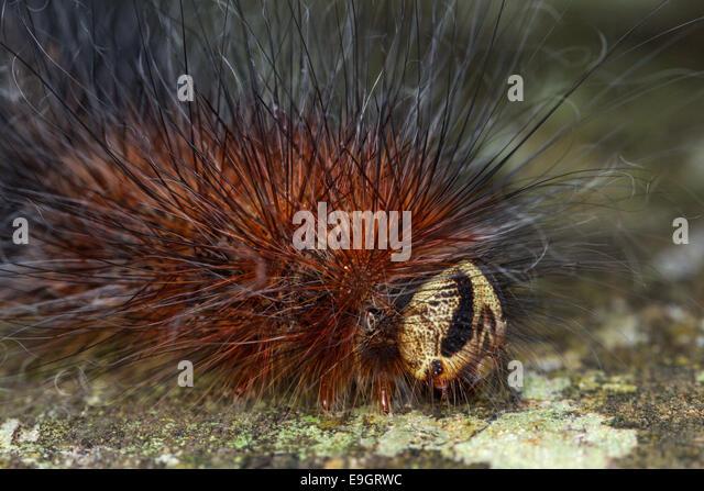 Close up of tropical caterpillar's long fine hair-like setae - urticating bristles or irritating hairs -  in - Stock-Bilder