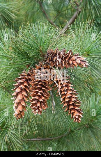 Pinus ayacahuite