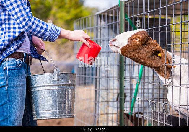 Goat getting fed on a livestock farm - Stock Image