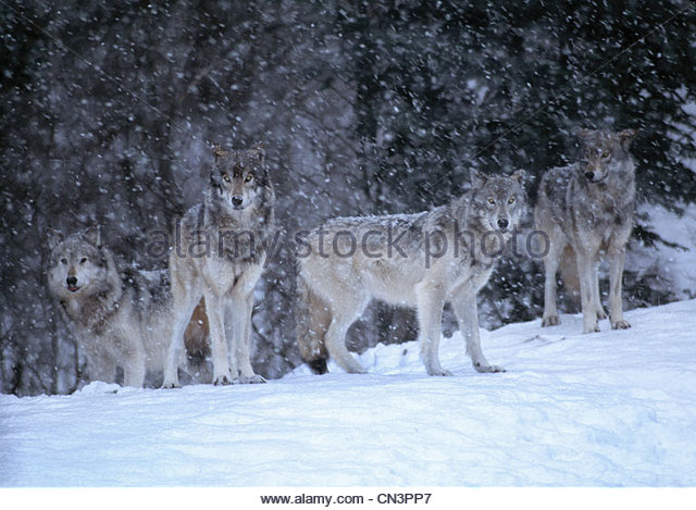 Gray wolf pack, Canada - Stock Image