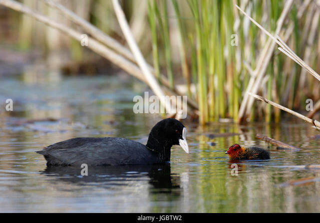 Eurasian coot (Fulica atra), adult with chicks in the water, Naturpark Flusslandschaft Peenetal, Mecklenburg-Western - Stock Image