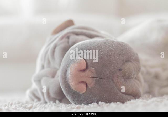 Shar pei sleeping on carpet - Stock-Bilder