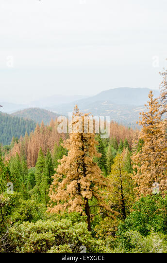 Sierra Nevada Mountains, California, USA. 04th Aug, 2015. The severe multi--year drought and pine trees killed by - Stock Image