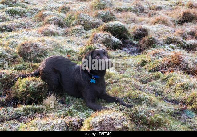 UK, England, West Midlands, Staffordshire, Downs Banks, Chocolate labrador puppy lying down on frosty grass - Stock-Bilder