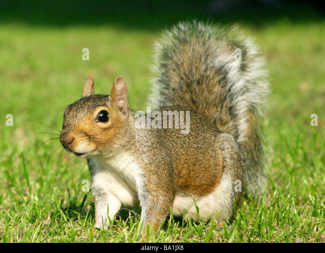 A grey squirrel on the grass waiting and watching - Stock Image
