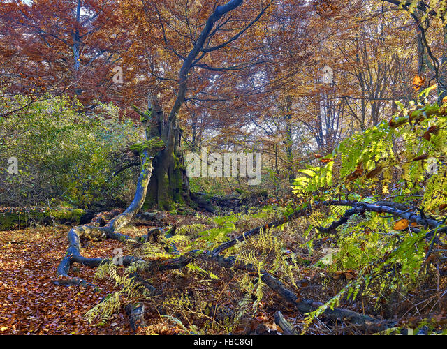 Nature reserve Sababurg Forest,  Hesse, Germany - Stock Image