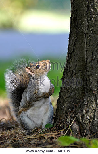 Squirrel looking up a tree - Stock Image