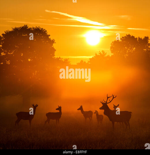 Herd of deer at sunset, Berkshire, England, UK - Stock Image