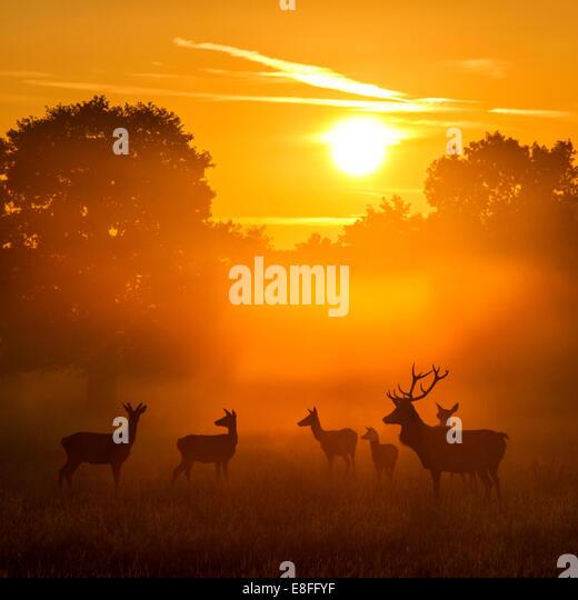 Herd of deer at sunset - Stock Image