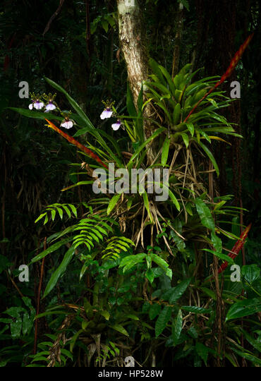 A lush collection of epiphytes growing in the Atlantic Rainforest - Stock Image