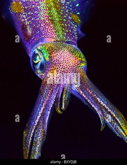 Caribbean Reef Squid, Sepioteuthis sepioidea, Key Largo, Florida, USA - Stock-Bilder