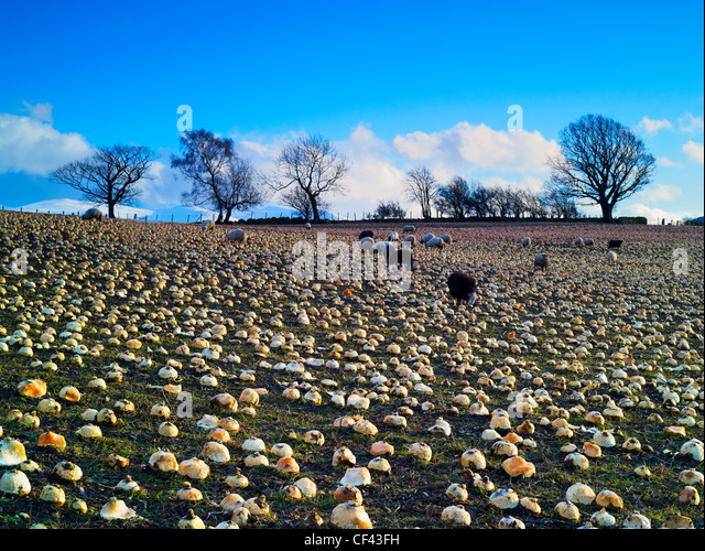 Sheep grazing in a field of turnips in the Lake District. - Stock Image