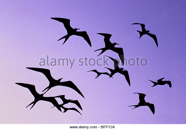 Magnificent frigate birds in flight, Fregata magnificens, Belize - Stock Image