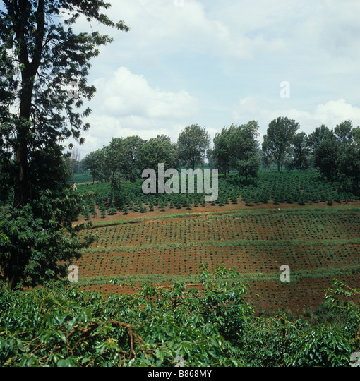 View of young newly planted plantations of arabica coffee with shade trees near Thika Kenya - Stock Image