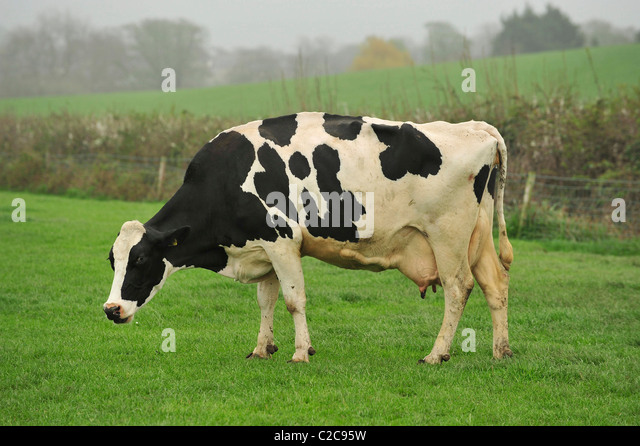 holstein cow grazing in Dorset - Stock Image