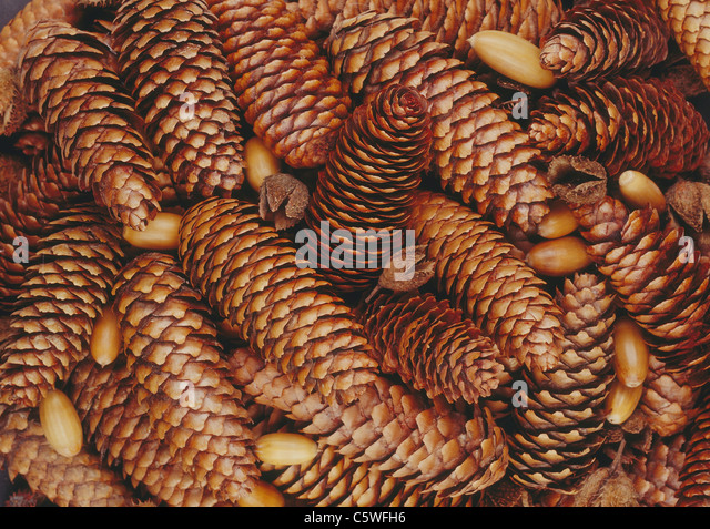 Pine cones background, close up - Stock Image
