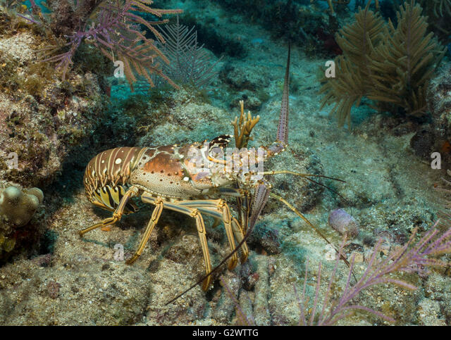A Caribbean spiny lobster ventures out from the protection of the coral reef, antennae waving like cutlasses. - Stock-Bilder