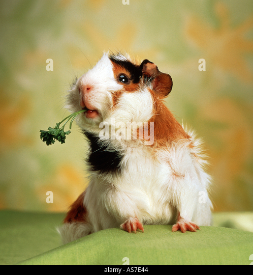 guinea pig with parsley - Stock Image