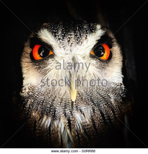 Iphone Close Up of a Captive 'Southern White Faced Scops Owl,' S Africa - Stock Image