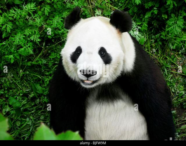 panda bear - Stock Image