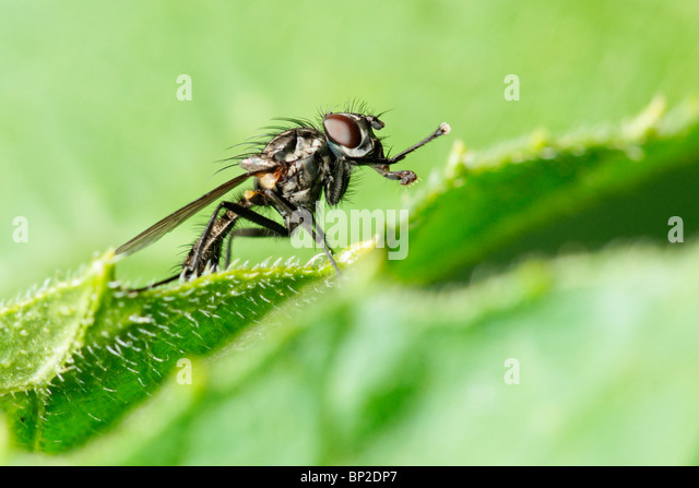 Fly standing on the edge of a leaf. - Stock Image