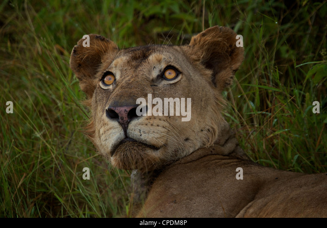 African Lion Panthera leo  in Mikumi Game reserve . Southern Tanzania. - Stock Image